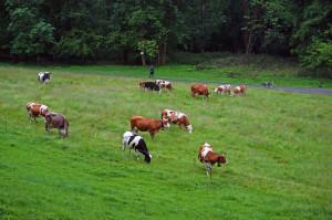 quadrifoglio-indaco-14-mucche-al-pascolo-nel-fondovalle-dell'Agogna