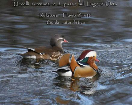 12/10/2019 | Incontro: Uccelli svernanti e di passo sul Lago d'Orta